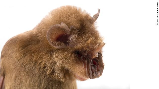 新種が続々、「チューバッカ・コウモリ」も モザンビークで生物調査