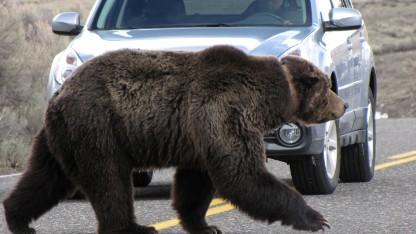 12歳少女、クマに襲われ負傷 被害相次ぐ 米