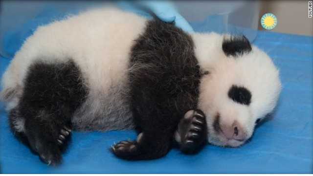 CNN.co.jp : ワシントンの赤ちゃんパンダ、「宝宝」と命名 ネット ...