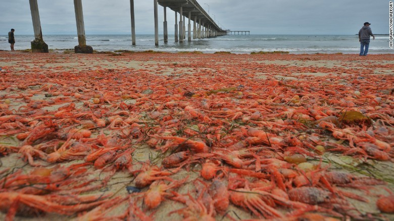 Cnn Co Jp 海岸が真っ赤に、甲殻類が埋め尽くす 米サンディエゴ