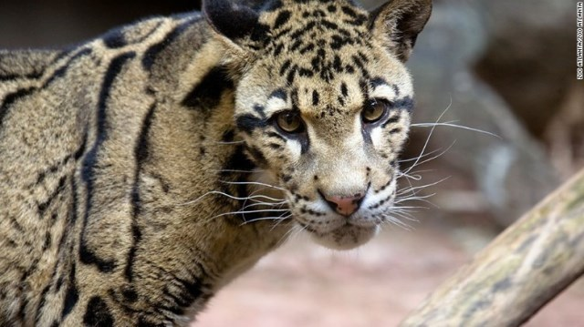 CNN.co.jp : 絶滅危惧のネコ科保存へ「冷凍動物園」 米大学
