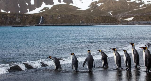 ペンギンをランニングマシンで歩かせたら? 英研究