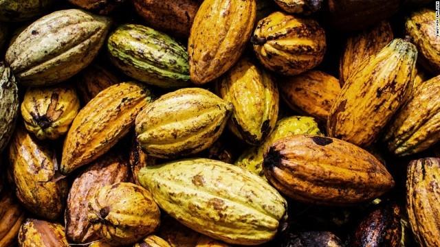 チョコレート危機、この植物が救う? カカオ豆の代替に