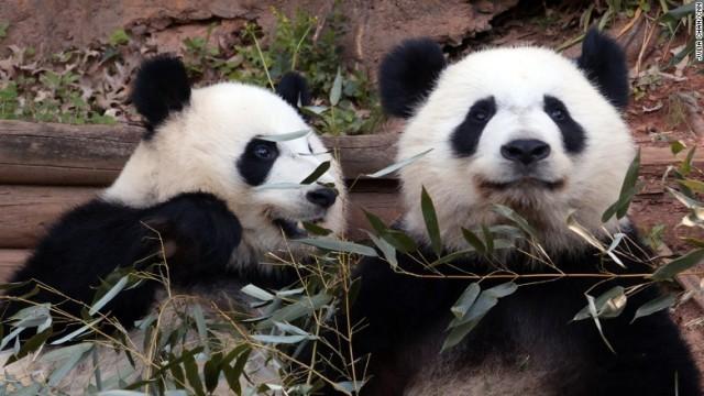 中国の双子のパンダ