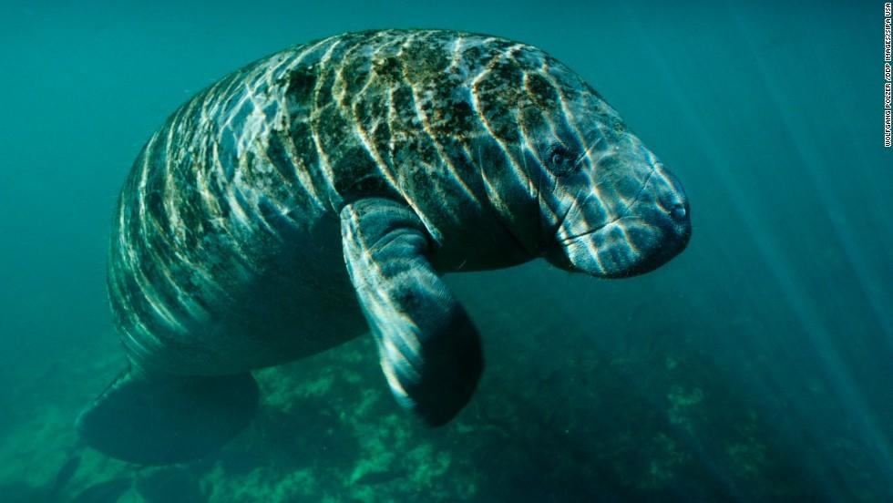 Cnn Co Jp 米当局、マナティーの絶滅危惧種指定を解除 個体数が回復