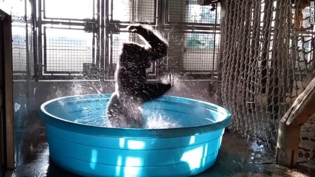 しぶきを上げてゴリラがダンス、米動物園の動画が話題に