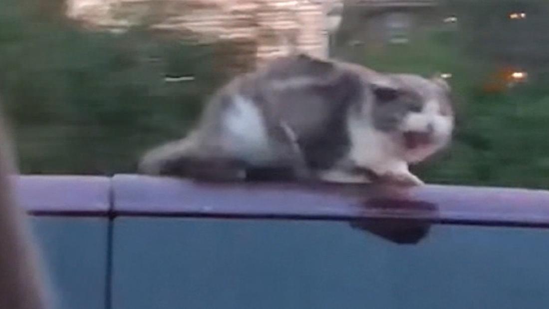 Cnn Co Jp 時速96キロで走る車の屋根に猫、運転手気づかず 米