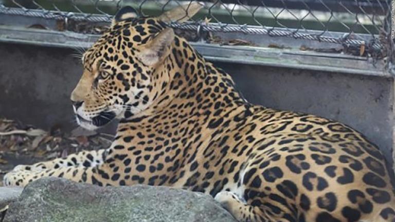 展示スペースからジャガーが逃げ出し、アルパカなどが殺された/Audubon Nature Institute