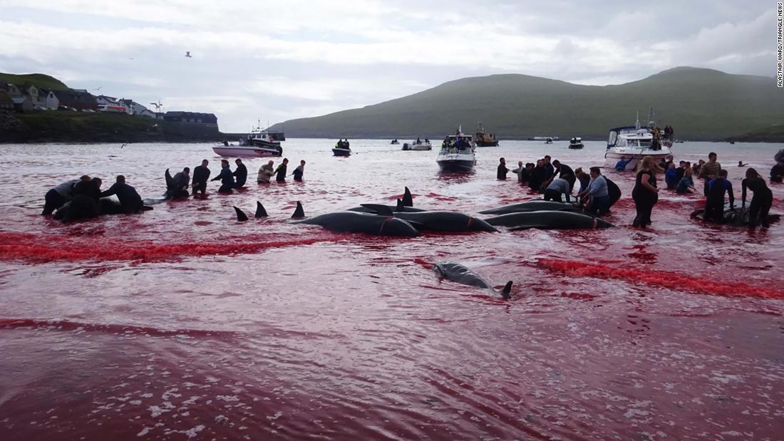 02 faroe islands whaling restricted super 169 - 【反捕鯨】フェロー諸島の鯨漁で海が赤く染まる写真 保護活動家「動物を殺して楽しむ野蛮な国」と批判 漁民「大切な食料だ」と反論★2
