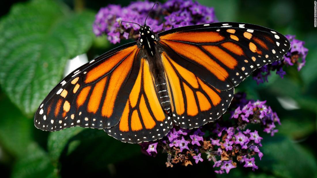CNN.co.jp : オオカバマダラの生息数が86%減少、米カリフォルニア州 ...
