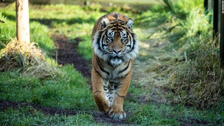【英国】雄のトラが雌を殺 す、繁殖目指す初接触で急変 離そうとするも間に合わず/ロンドン動物園 ->画像>7枚
