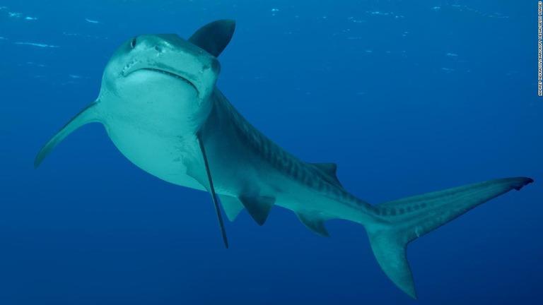 CNN.co.jp : サメの襲撃件数、過去55年で増加も発生率は数百万分の1 ...