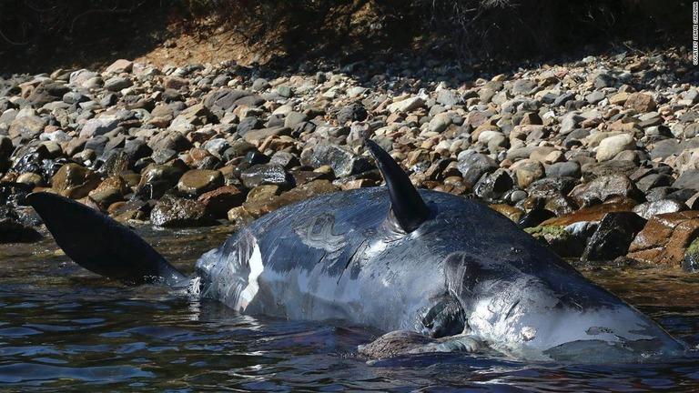 サルデーニャ島の海岸に打ち上げられていたマッコウクジラ/Courtesy SeaMe Sardinia