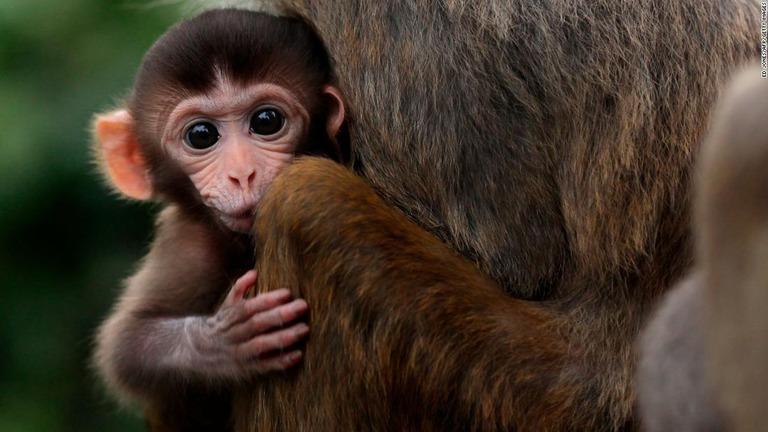 アカゲザルの赤ちゃん
