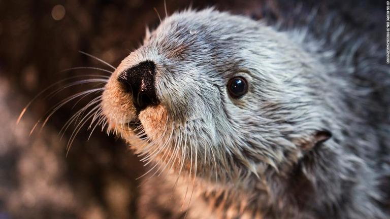 Cnncojp 世界最長寿のラッコチャーリー死ぬ22歳 米水族館