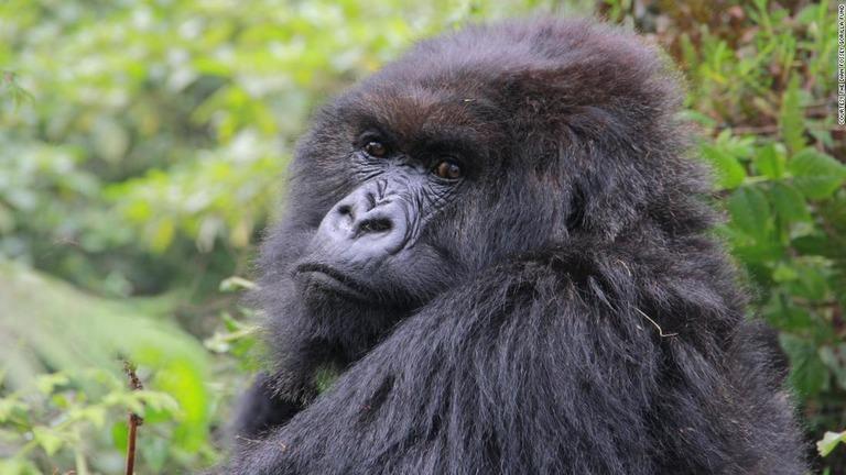 CNN.co.jp : ルワンダの「霧のなかのゴリラ」、最後の1頭が死亡か