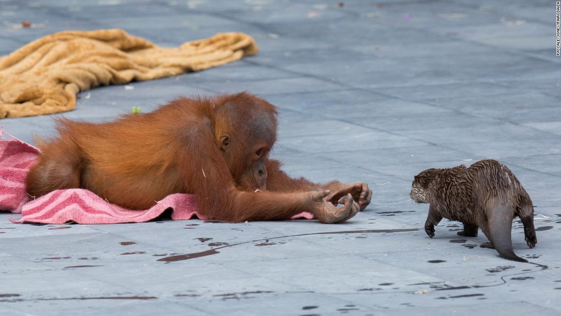 オランウータンとカワウソの一家に友情、仲良く遊ぶ ベルギー動物園