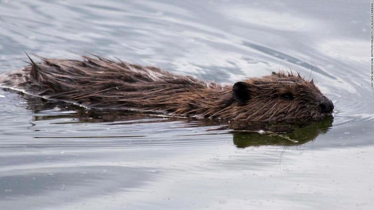 CNN.co.jp : ビーバーの「ダム」で永久凍土が解凍、地球温暖化に影響も