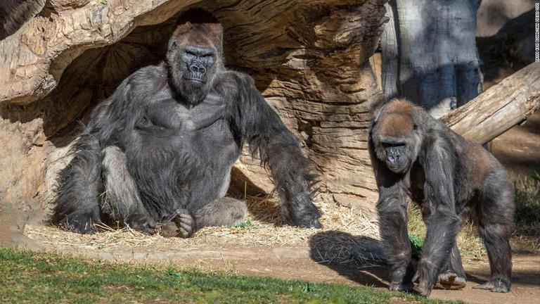 https://www.cnn.co.jp/storage/2021/01/12/8e4956c2cf32a56b69dcf63a90a79c8b/t/768/432/d/gorillas-covid-san-diego-zoo-super-169.jpg