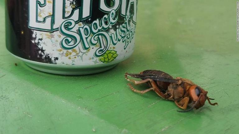 米国の「殺人スズメバチ」、今年最初の目撃例 シアトル近郊