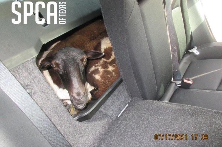 車のトランクに押し込んだ状態で移送されていた複数の羊が救出された/SPCA of Texas