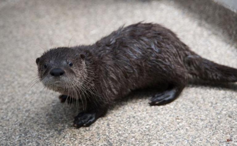 道路わきで発見されたカワウソのみなしご、動物園で手厚い保護 米オレゴン州